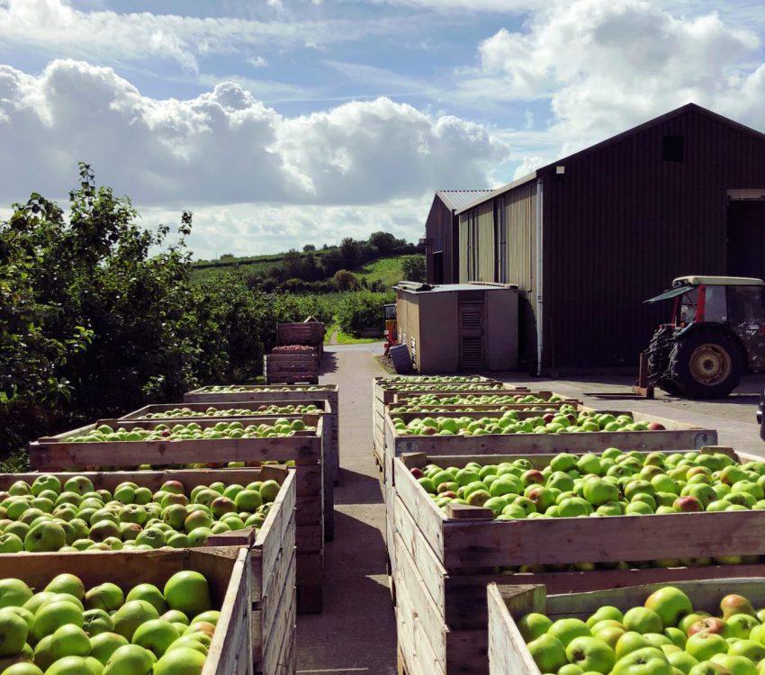 Bramley Apple Orchard