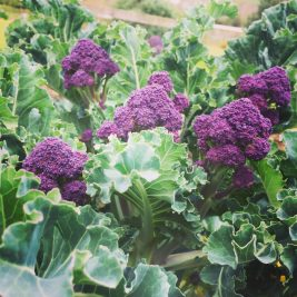 Purple sprouting Brocolii