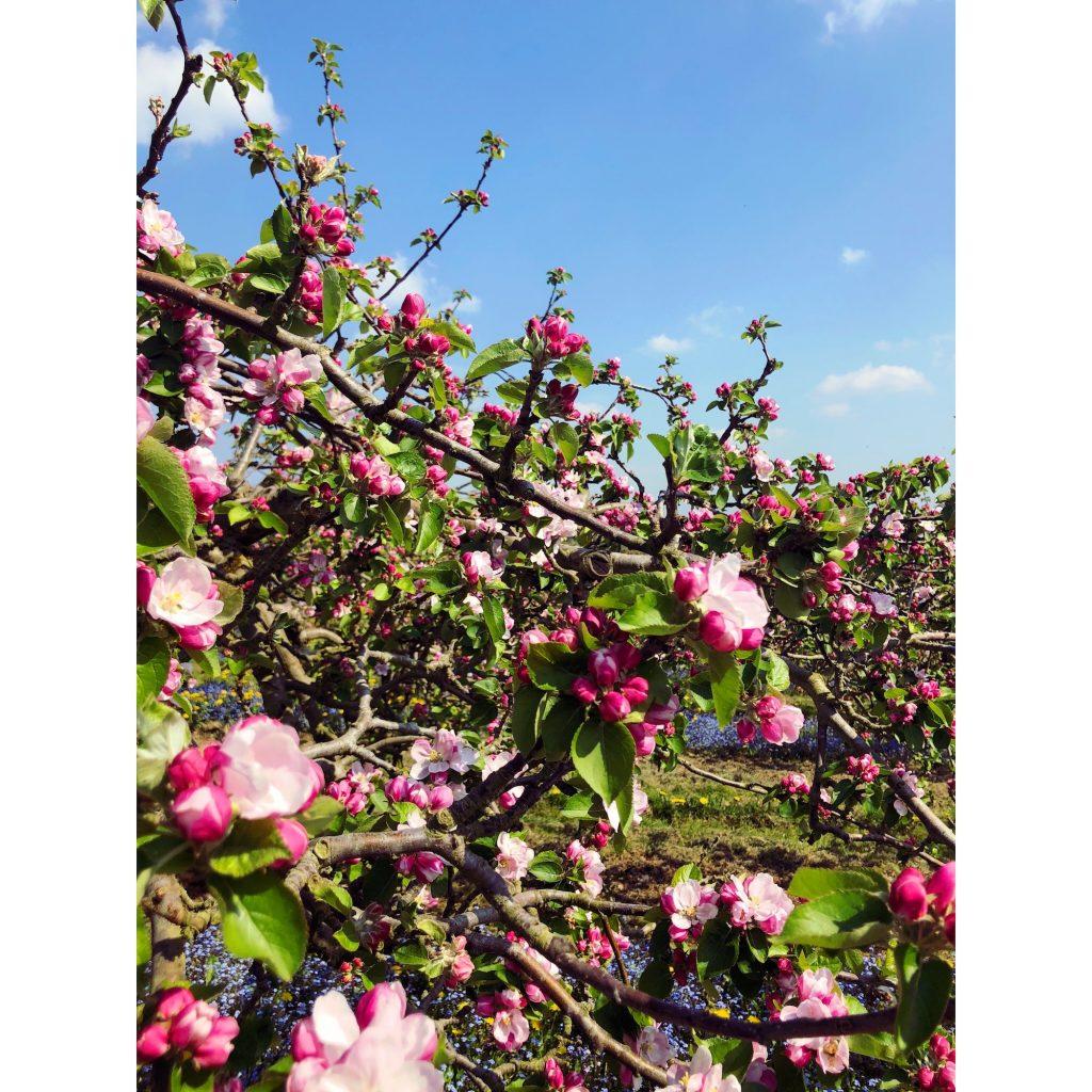 brambly apple blossom